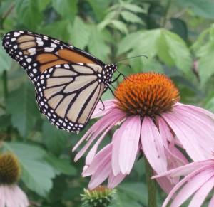 Cosechar plantas medicinales. Imagen Mariposa Equinacea