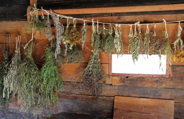 Recolectar plantas medicinales silvestres. Imagen Secado plantas