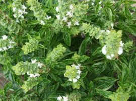 La reina de las aromáticas. Imagen planta albahaca con flores