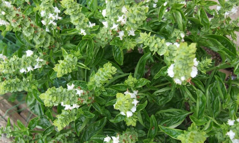 Imagen de una planta albahaca con flores