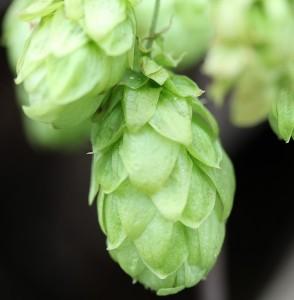 Propiedades cerveza artesana. Detalle inflorescencia lúpulo