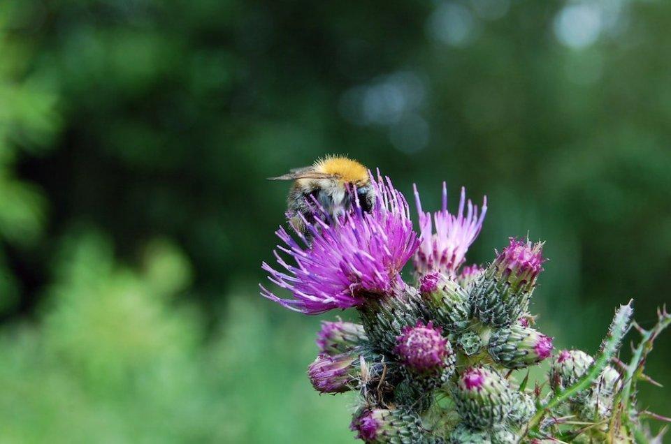 abejorro sobre una flor de cardo en el campo