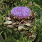 Astenia primaveral remedios naturales. Imagen flor alcachofa