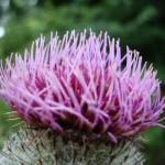 Astenia primaveral remedios naturales. Imagen flor de cardo mariano