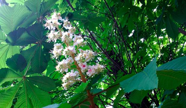 flor y hojas de aesculus hippocastanum para insuficiencia venosa, @notasnaturales