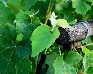 Plantas para insuficiencia venosa. Imagen hojas vitis vinifera