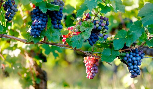 fruto y hojas de vitis vinifera para insuficiencia venosa, @notasnaturales