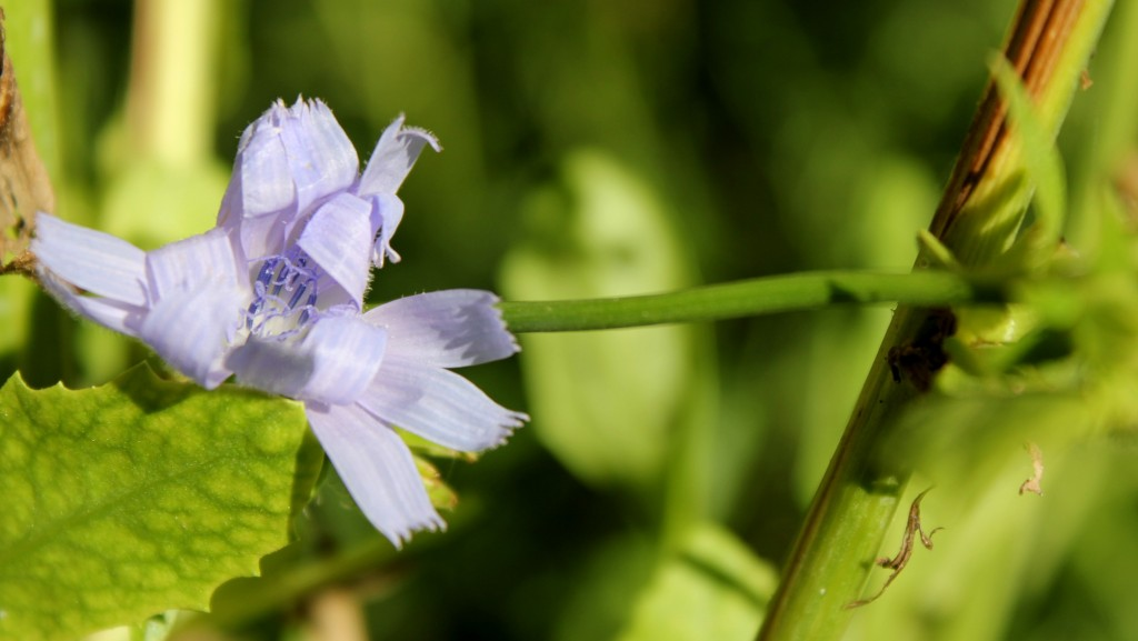 plantas silvestres otoño, achicoria, flor azul, notas naturales