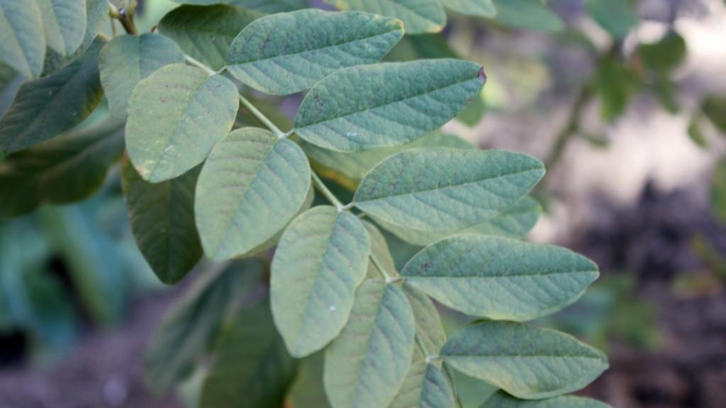 plantas silvestres otoño, regaliz, hojas, notas naturales