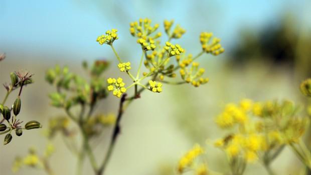 cosechar y secar plantas silvestres, hinojo, flor, foeniculum vulgare, notas naturales
