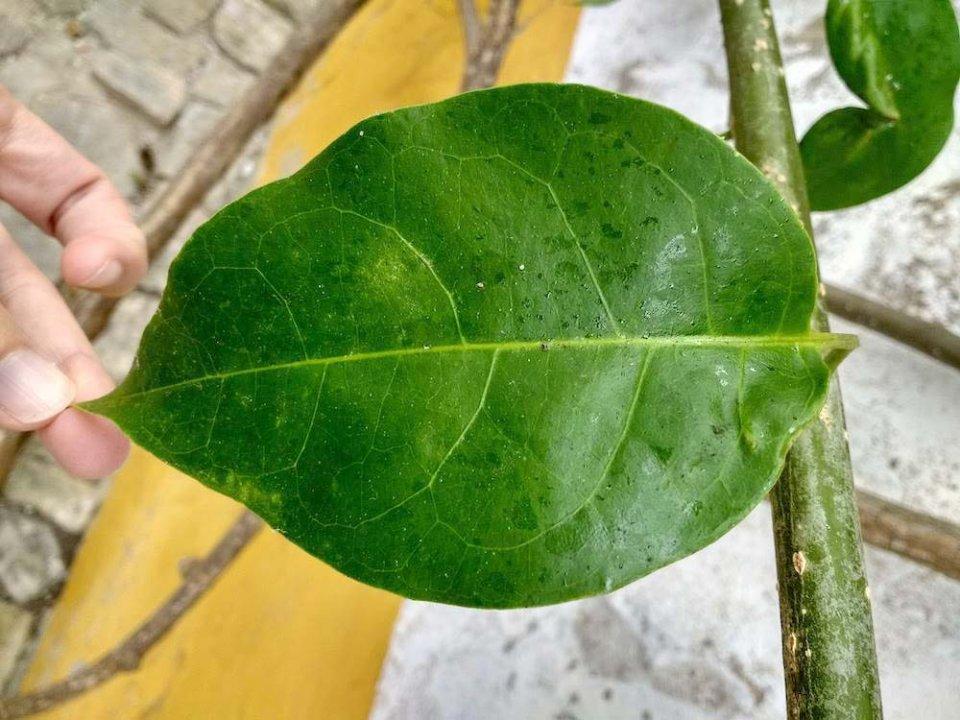 identificación de plantas por las hojas