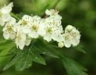 plantas medicinales y fitoterapia, crataegus monogyma, espino blanco, collserola, notas naturales