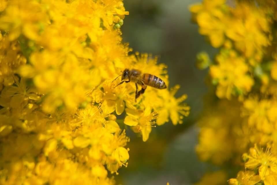 Una abeja sobre flores de hiperico, una planta contemplada en la web de plantas medicinales fitoterapia.net