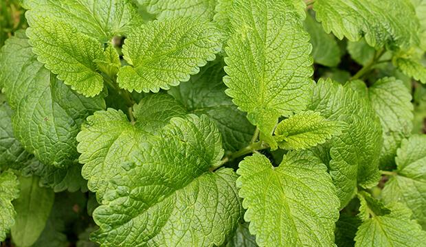Melisa planta, hojas verdes, notas naturales