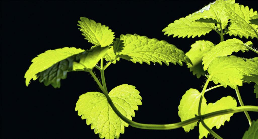 detalles del color y la forma de la planta de melisa o toronjil (Melissa officinalis)