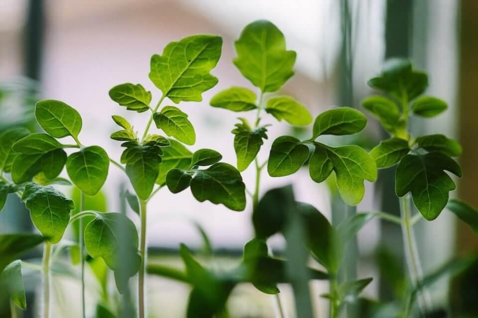 plantas medicinales que se pueden cultivar en casa