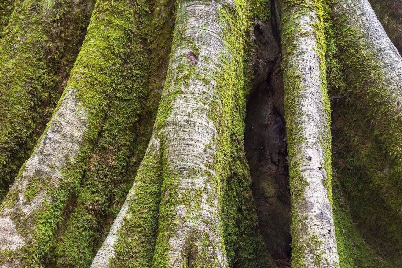 musgo en el tronco de un árbol como bioindicadores de calidad ambiental, notasnaturales