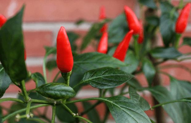 pimienta de cayena cultivo, notasnaturales