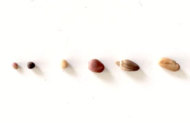 semillas para germinados, notasnaturales