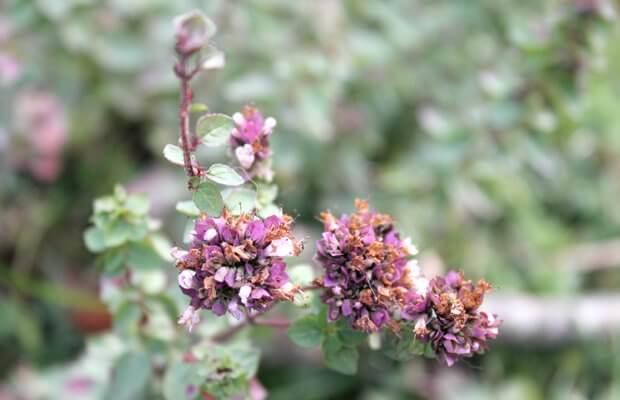orégano, una de las plantas silvestres con propiedades medicinales según la fitoterapia, foto notasnaturales