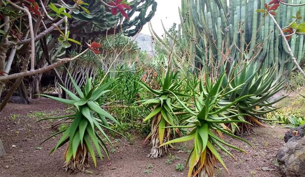 Plantas medicinales de Canarias, aloe canariensis