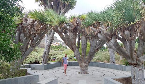 Plantas medicinales de Canarias, drago, notas naturales