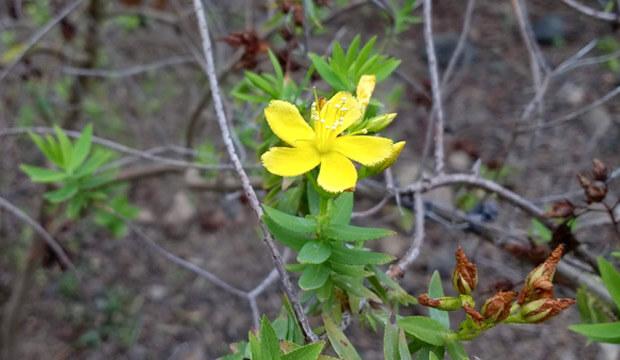 Plantas medicinales de Canarias, hipericum reflexum