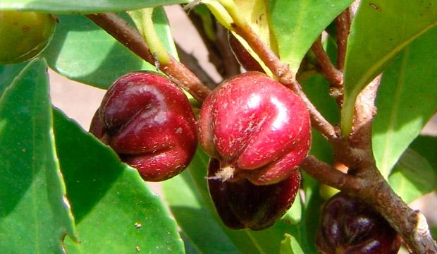 Plantas medicinales de Canarias, notas naturales, Mocán, Visnea mocanera