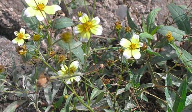 Plantas medicinales de Canarias, notas naturales, te canario, Visnea mocanera