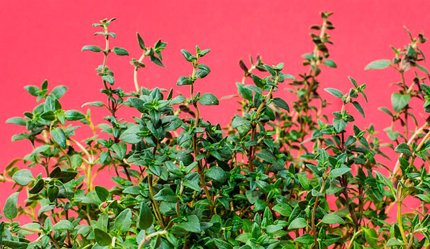 plantas medicinales silvestres tomillo, notasnaturales
