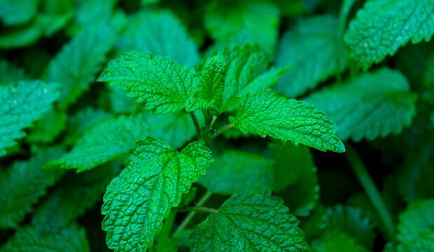 plantas medicinales silvestres melisa, notasnaturales