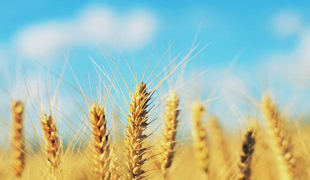 espigas de trigo en campo