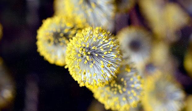 detalle pólen mimosa