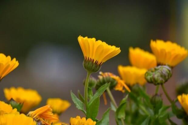 Planta de caléndula, una flor en la lista plantas medicinales comunes