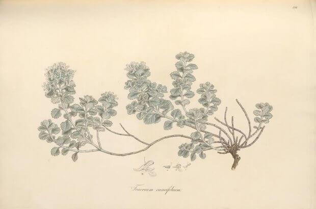Teucrium cuneifolium, ilustraciones botanicas antiguas del volumen Flora Graeca, biodiversity heritage library