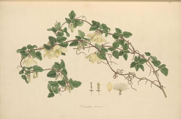 clematis cirrhosa, ilustraciones botanicas antiguas del volumen Flora Graeca, biodiversity heritage library