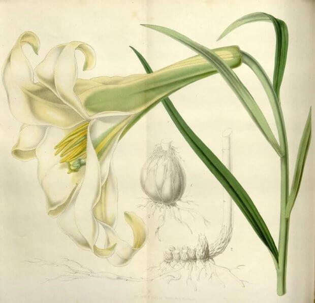 ilustraciones botanicas antiguas del volumen Flore de serres et des jardins de l europe v6, biodiversity heritage library