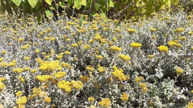 plantas de Helicriso en flor