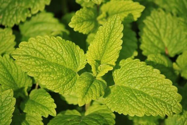 Melisa una de las 10 plantas medicinales comunes