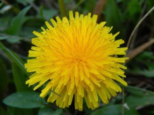 Diente de león, una de las plantas medicinales más comunes