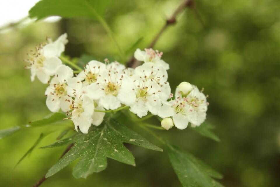 detalle de flores y hojas de espino blanco, foto notasnaturales.com