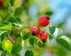 escaramujo, un fruto medicinal que ayuda a reforzar el sistema inmune