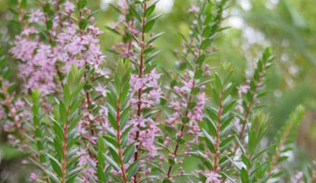 planta agathosma con flores rosa