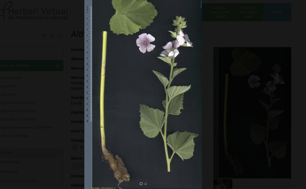 Althaea officinalis L. en el herbario virtual del mediterraneo occidental
