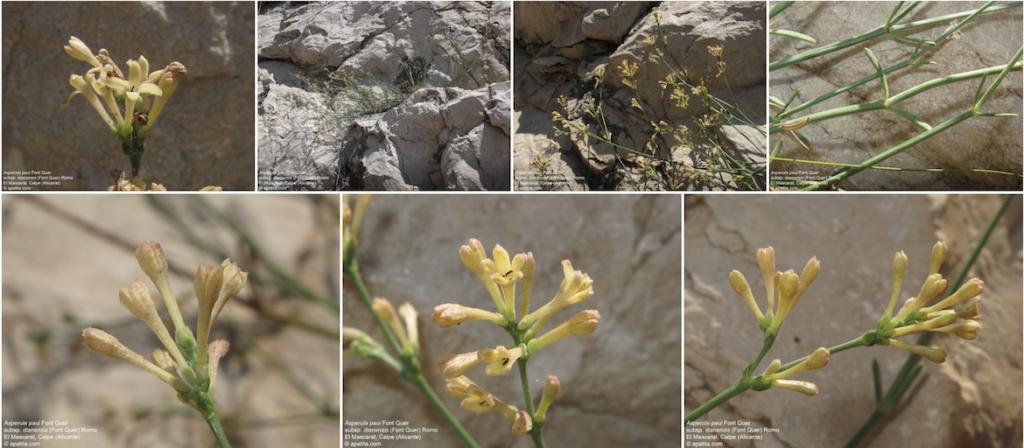 detalles de la Aspertula Paui en un herbario virtual
