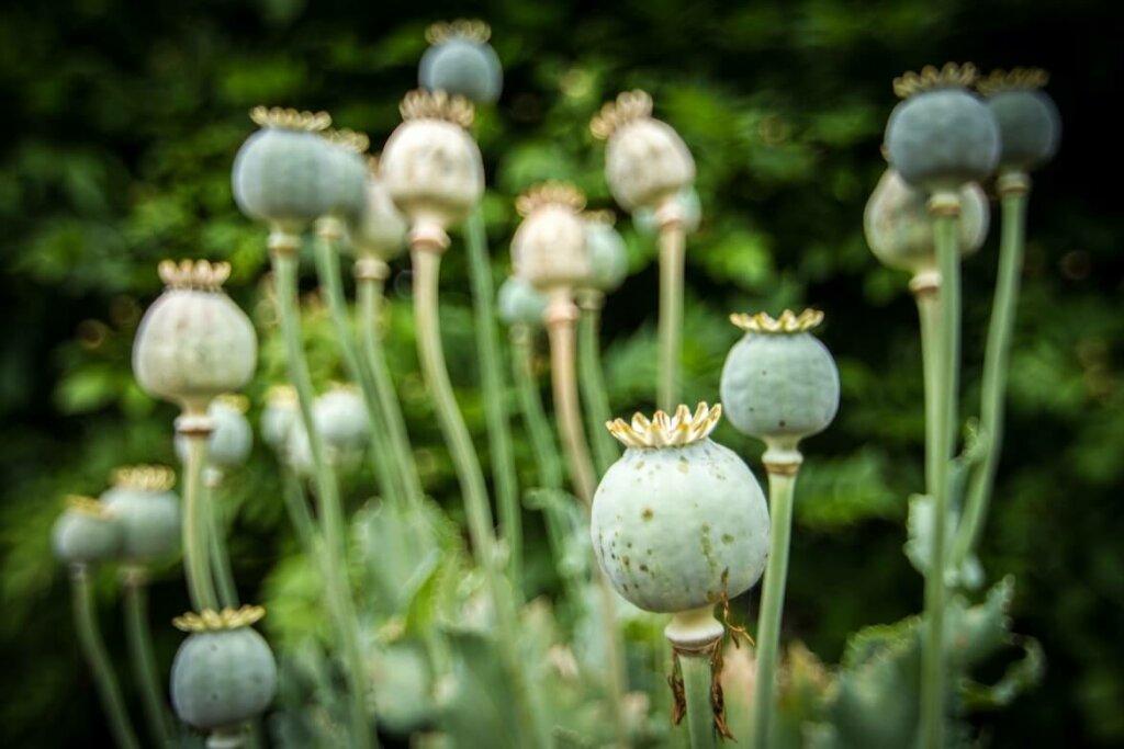 semillas de papaver somniferum. principios activos de las plantas medicinales beneficios y riesgos