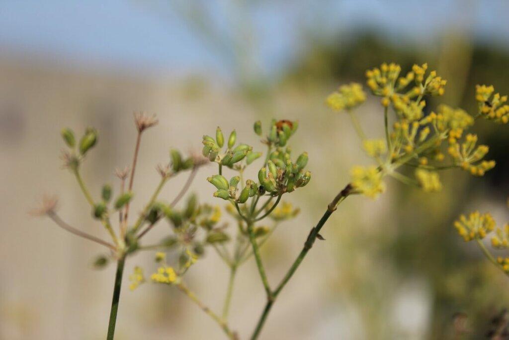 hinojo flor, imagen notasnaturales.com