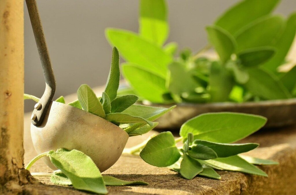 hojas de salvia, una de las plantas aromaticas y medicinales
