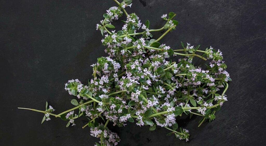 imagenes de plantas aromaticas y medicinales , tomillo