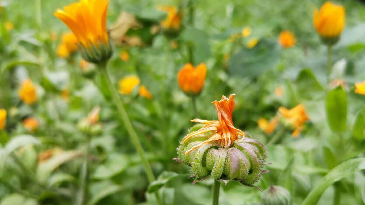 calendula cultivada es una especie apta para recolección de plantas medicinales